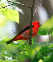 Scarlet Tanager. Photo by Bill Fiero.