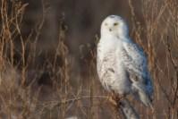 Snowy Owl. Photo by Alan Wells.