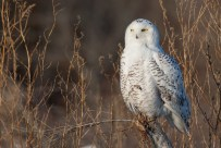 Snowy Owl. Photo by Alan Wells.