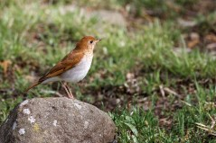 Veery. Photo by Alan Wells.