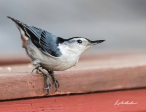 """White-breasted Nuthatch. Photo by Dave Baker. """"The Nuthatch is an eminently useful and industrious bird. He devotes his entire existence to the occupation of scrambling about upon the tree-trunks, grubbing out insects from their hiding places under the bark,"""" EA Mearns"""