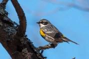 Yellow-rumped Warbler. Photo by Bill Fiero.
