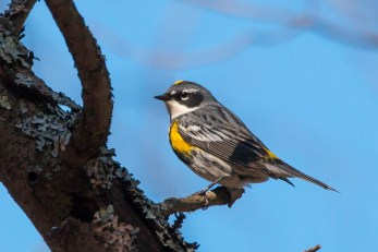 Yellow-rumped Warbler. Photo by Bill Fiero.