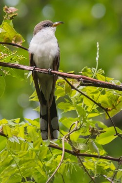 Yellow-billed Cuckoo. Photo by Alan Wells.