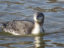 Red-throated Loon. Photo by Joyce Depew.