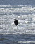 Bald Eagle. Photo by Maryangela Buskey.