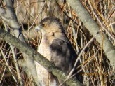 Cooper's Hawk. Photo by Joyce Depew.