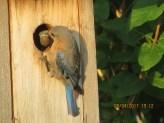 Eastern Bluebird. Photo by Joyce Depew.