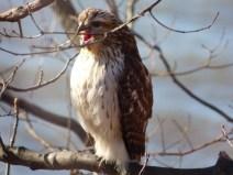 Red-tailed Hawk. Photo by Teresa Loomis.