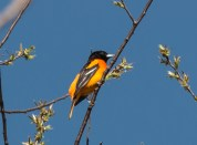 Baltimore Oriole. Photo by Bill Fiero.