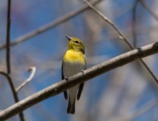 Yellow-throated Vireo. Photo by Bill Fiero.