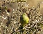Palm Warbler. Maryangela Buskey.