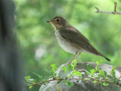 "Swainson's Thrush. Photo by Kathleen Ashman. ""In spring, they are very abundant in the woods and orchards, uttering a note that sounds like the bursting of an air bubble on rising to the surface of a fluid."" —EA Mearns"