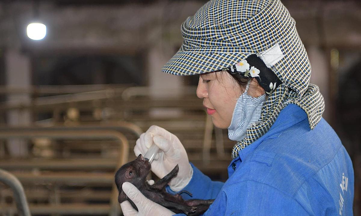 В'єтнам успішно проводить клонування свиней