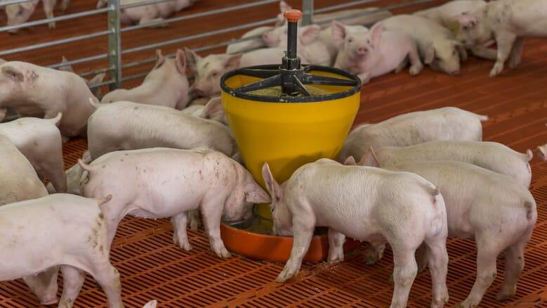 Нова публікація досліджень в журналі Animals узагальнює потенціал поширення африканської чуми свиней (АЧС) через корм.