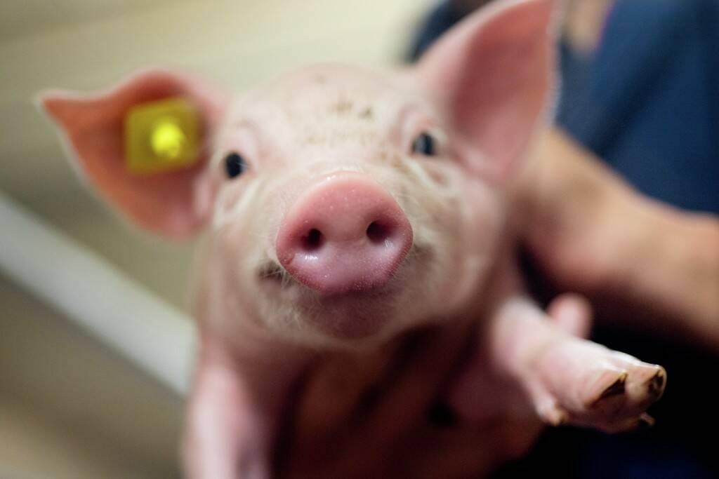 Стійкість: Що це приносить свинарям?
