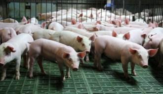 На Філіппінах зростає імпорт свинини