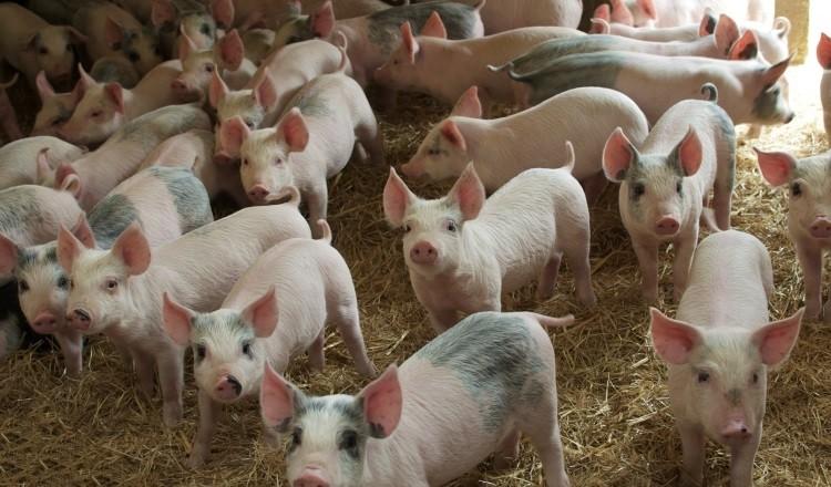 В Таїланді знижуються ціни на свинину