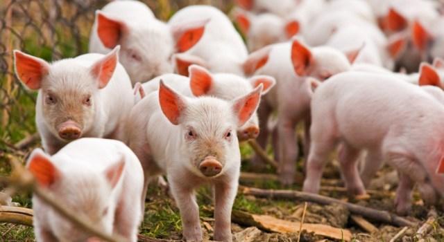 Оприлюднено закупівельні ціни на живих свиней на 4 – 10 жовтня