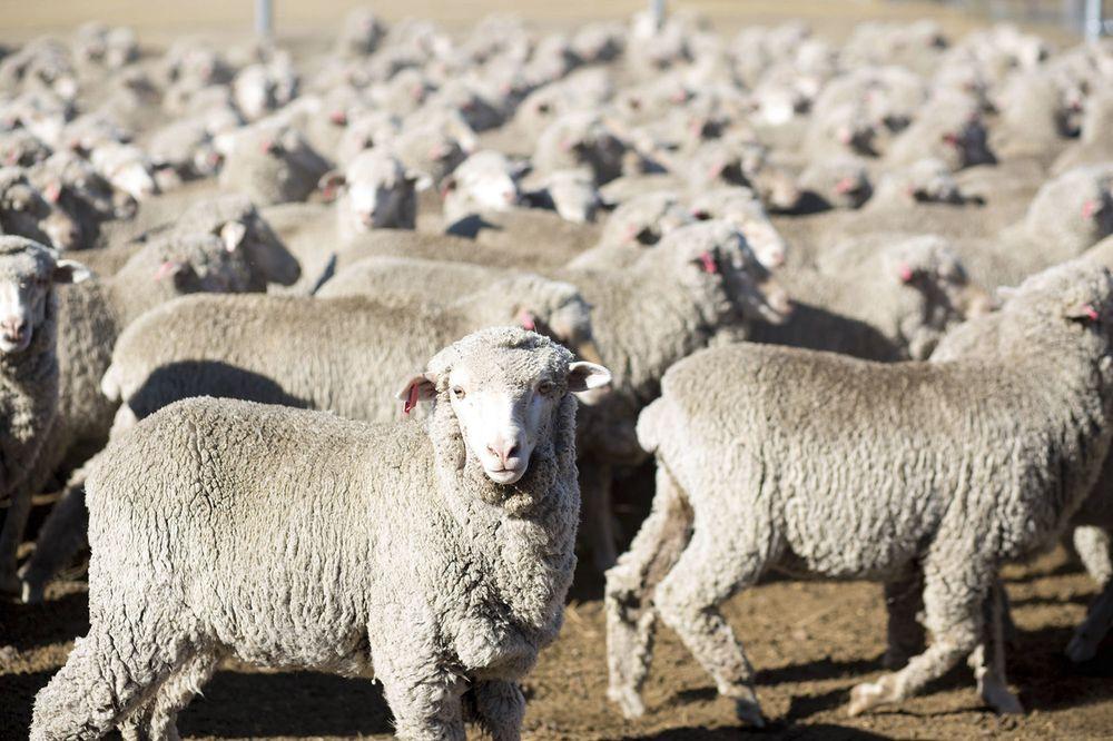 Вівці в Австралії досягають 70 млн голів