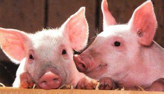 Оприлюднено закупівельні ціни на живих свиней на 18 – 24 жовтня