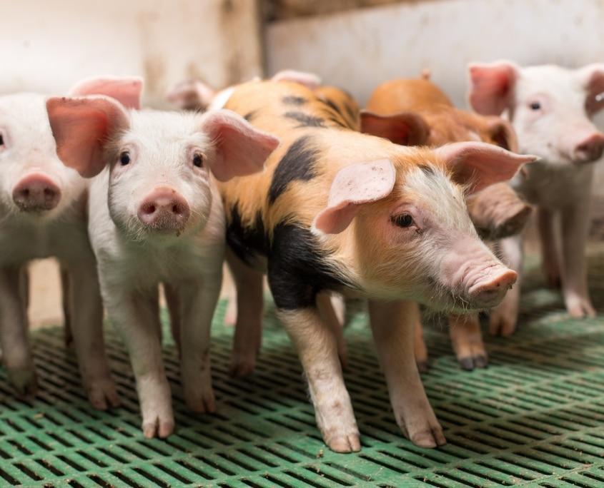 Оприлюднено закупівельні ціни на живих свиней на 11 – 17 жовтня