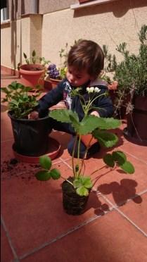 Plantando una nueva fresera