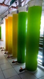 Microalgas e Biodiesel - MCTI