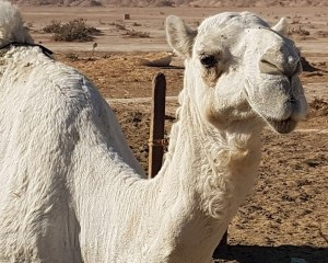 Journeys to Saudi Arabia: Tasting Raw Camel Milk