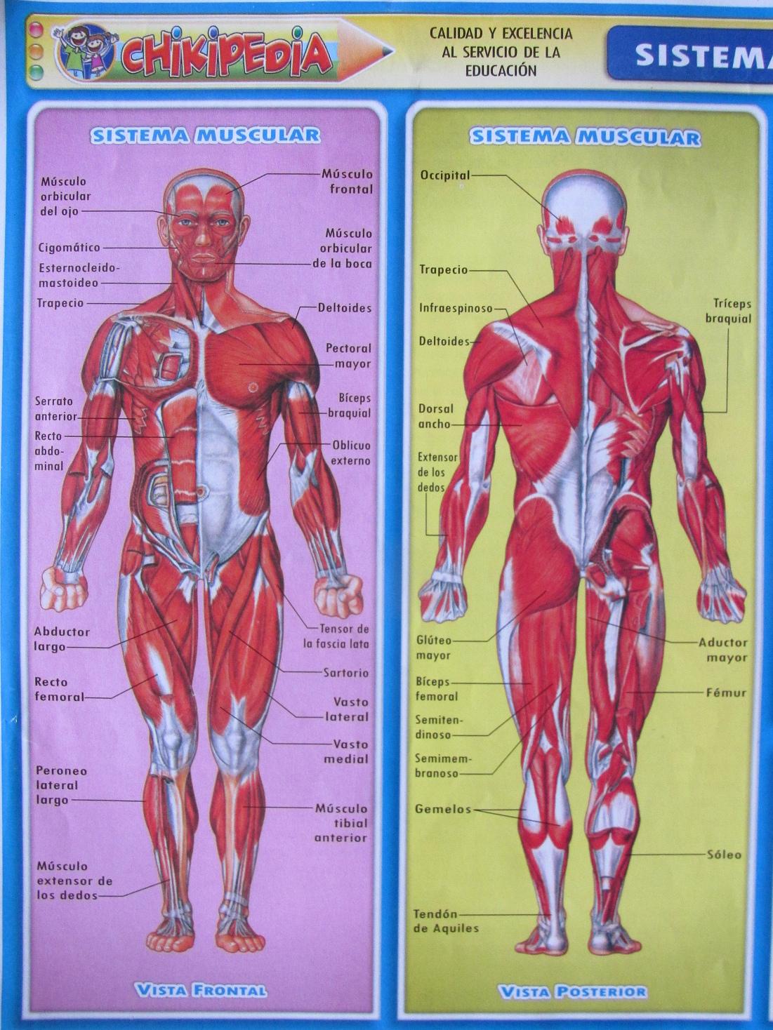 Collection Of Lamina Del Sistema Muscular