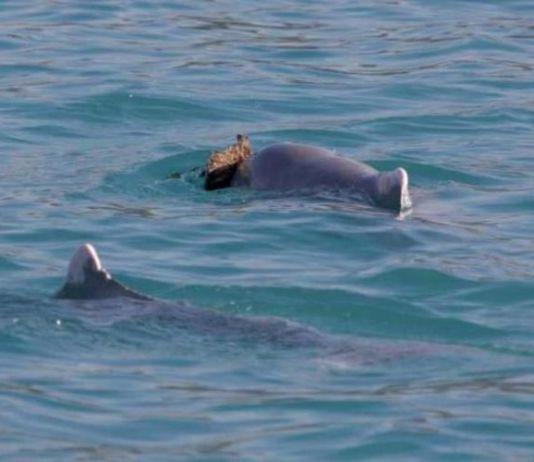 Lumba-lumba punggung bungkuk membawa karang untuk mengajak betina kawin