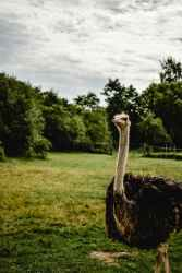 why do ostriches bury their heads in the sand