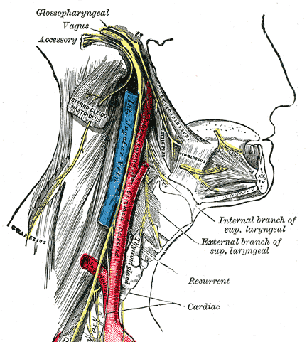 Glossopharyngeal Nerve Distribution is affected in glossopharyngeal neuralgia