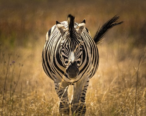 zebra-2810963_1920