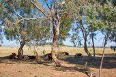 Cows of Lake Ginninderra