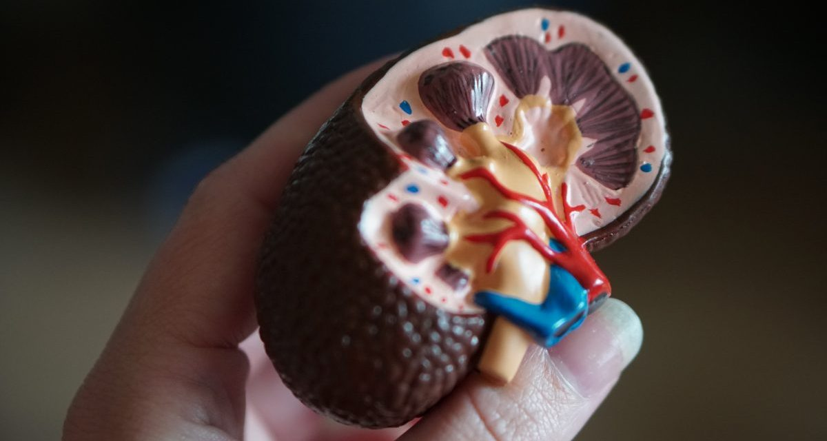 Introduction to the kidney