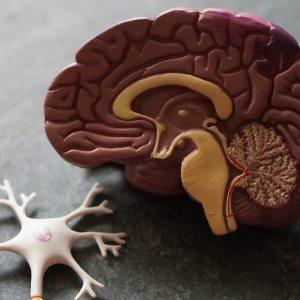 Brain and neurone model