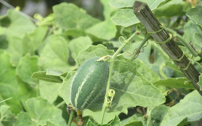 Trichosanthes_dioica-potol-parwal-pointed-gourd