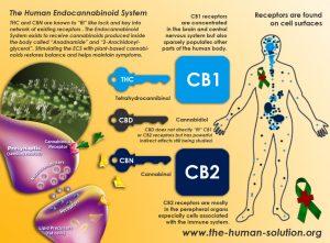 Endokanabinoidny-system-tela