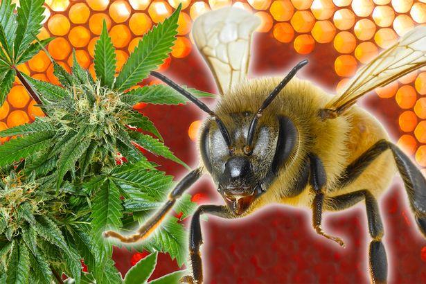 Včely produkující med s THC