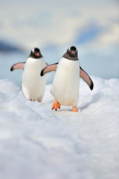Gentoo Penguins | by The Wandering Fowl on Flickr