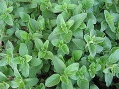 Oregano is an ancient medicinal and culinary herb that contains some of the highest antioxidant properties in the plant kingdom. Oregano is an excellent source of vitamin A, vitamin C, vitamin K, B-complex, potassium, calcium, iron, and magnesium. Oregano has powerful antiseptic, antibacterial, antiviral, and antifungal properties that have been shown to be highly beneficial in the treatment of colds, flu, viral infections, respiratory ailments, indigestion, and painful menstruation.