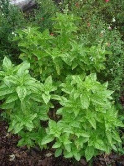7 suggerimenti per coltivare il basilico guida giardino for Coltivazione basilico in vaso