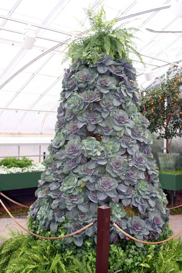 kale christmas tree, longwood gardens