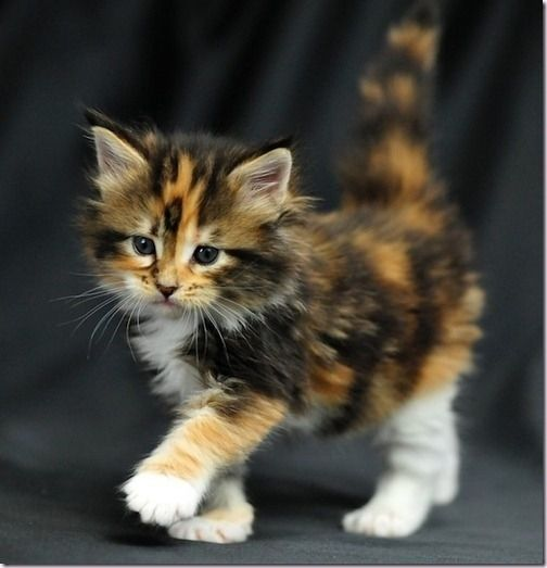 What Makes A Calico Cat Calico?