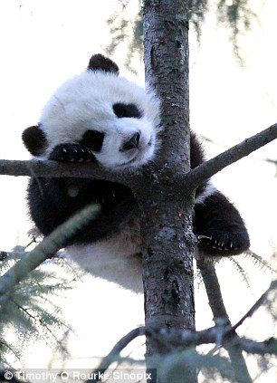 Panda cub, baby is tuckered out!!