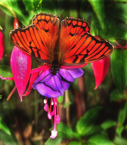 Rare butterfly In the Andes