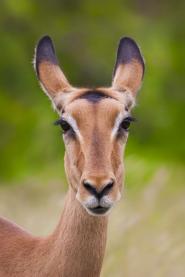 A funny pose of this female impala (Aepyceros melampus) Image captured in Kruger National Park, South Africa.