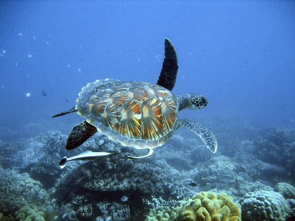 Pin by Pam Mullins on Endangered Sea Turtles | Pinterest