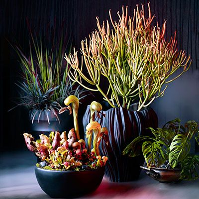 Spooky Plants for the Creepiest Centerpieces. Create a surreal scene with the flamelike stems of 'Sticks on Fire' Euphorbia tirucalli and a container of carnivorous plants. Here, Cobra plants (Darlingtonia californica) arch over smaller Venus flytraps and pitcher plants. Finish off the display with Swiss cheese vine (Monstera obliqua), planted in a low bowl so its leaves creep out onto the table.